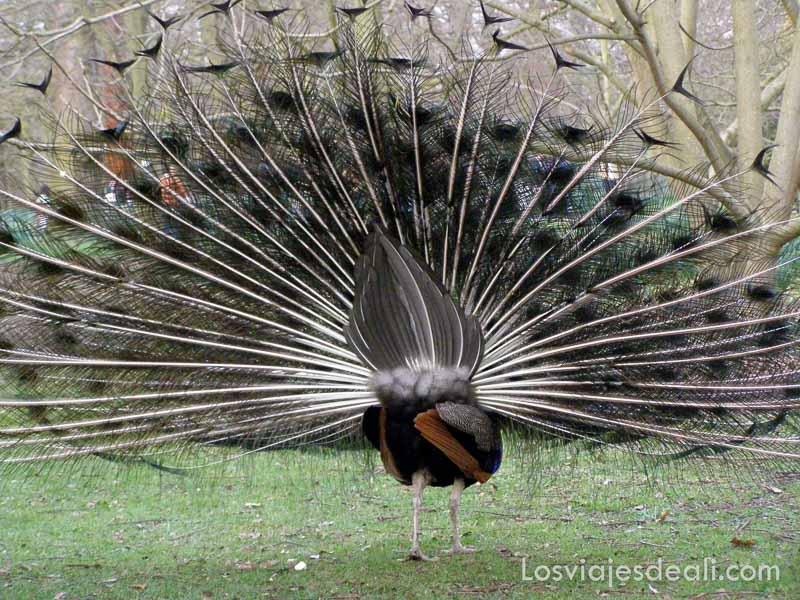 pavo real desplegando sus plumas