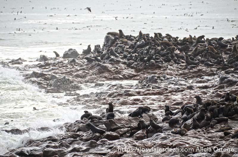 cientos de leones marinos sobre las rocas de la costa golpeadas por las olas
