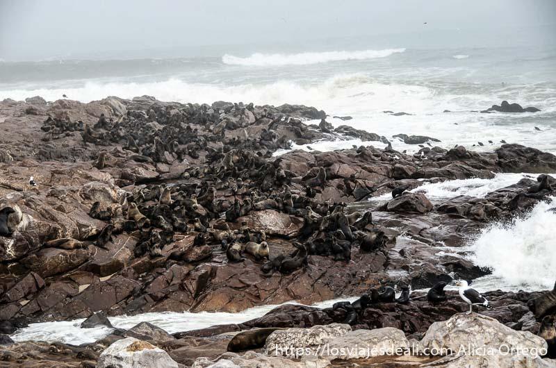 cientos de leones marinos en la costa de cape cross