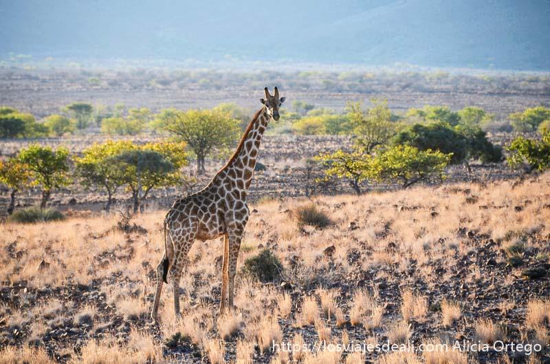 jirafa en el campo de perfil mirando a la cámara