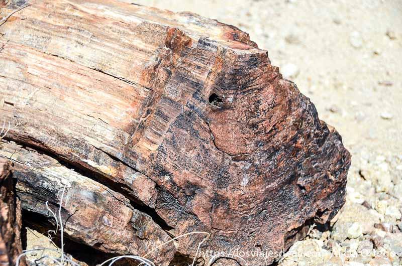 corte de tronco petrificado donde se aprecian los anillos