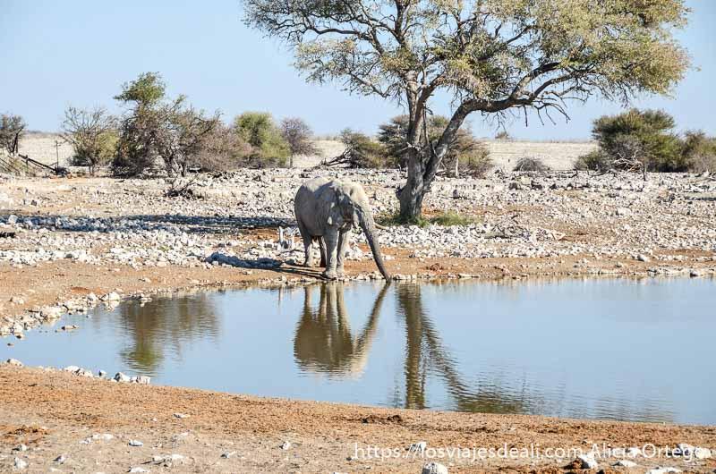 elefante bebiendo agua con trompa estirada junto a un árbol y todo reflejándose en el agua