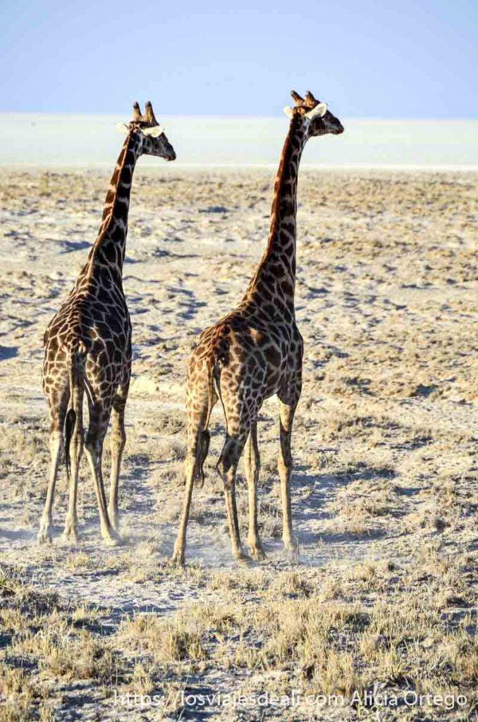 dos jirafas mirando hacia planicie de lago seco
