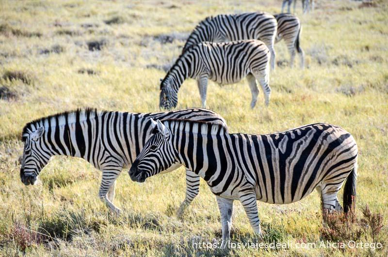 cuatro cebras andando entre la hierba