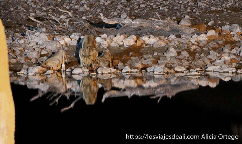 leona y dos cachorros bebiendo agua por la noche en el parque nacional de etosha