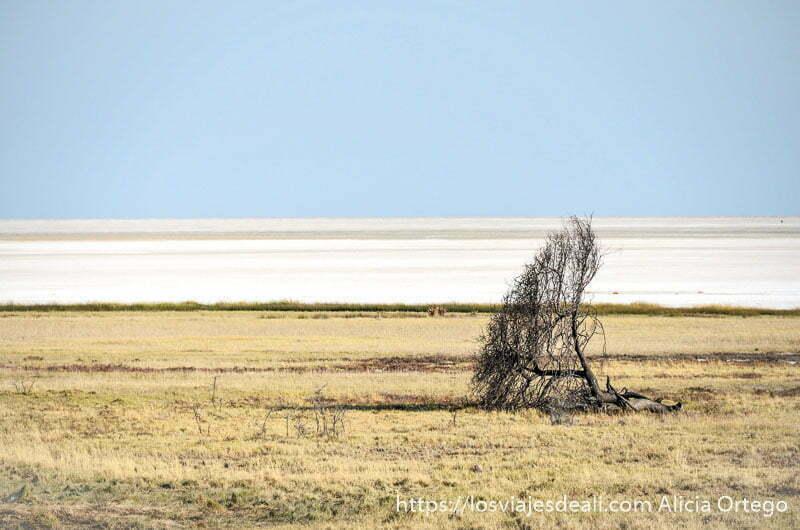 planicie blanca al fondo y con hierba seca y una acacia tumbada en primer plano en el parque nacional de etosha