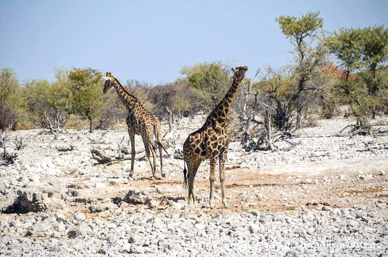 dos jirafas dándose la espalda la una a la otra en un pedregal con acacias alrededor
