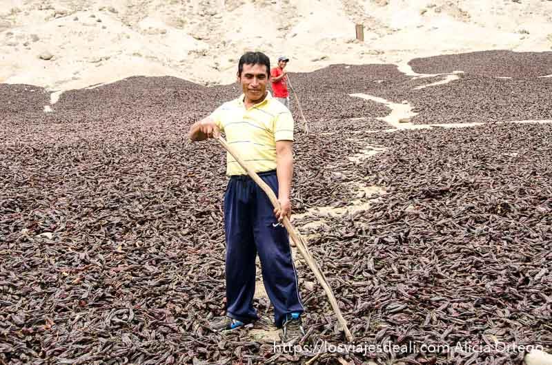 señor con rastrillo en campo lleno de pimientos dispuestos para secarse