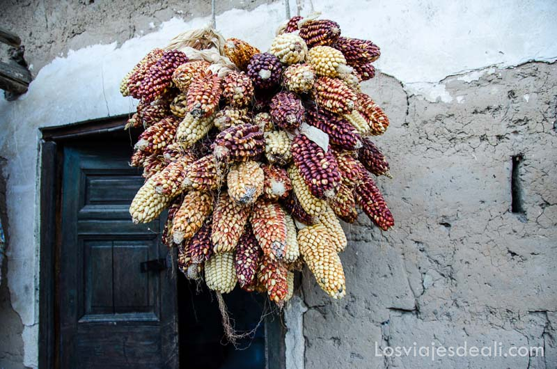 racimo de mazorcas de maíz de varios colores secándose colgadas de un muro