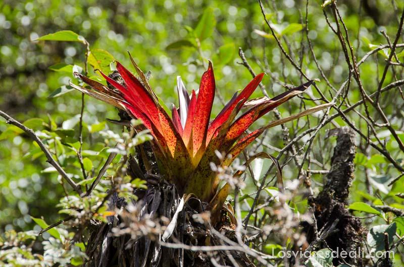bromelia de hojas rojas creciendo en el tronco de un árbol