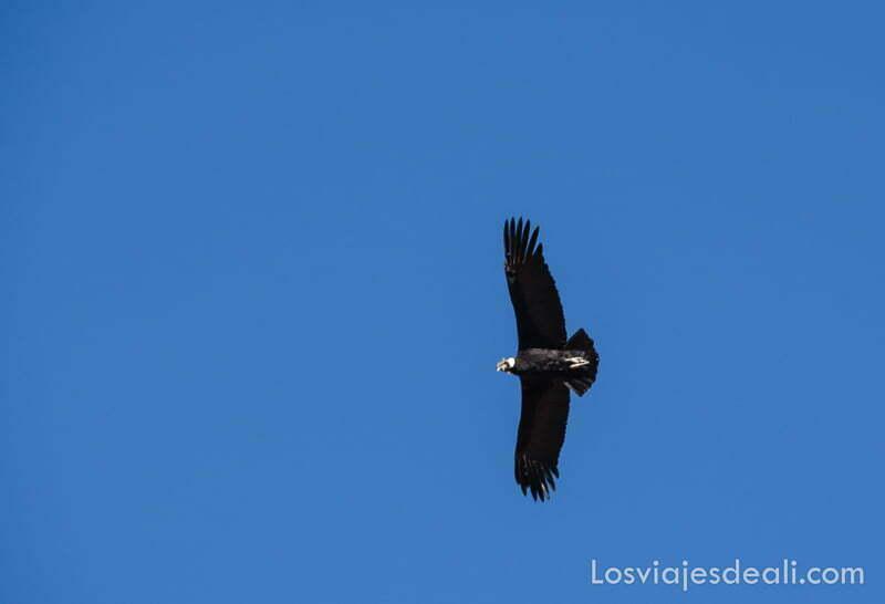cóndor volando sobre cielo muy azul