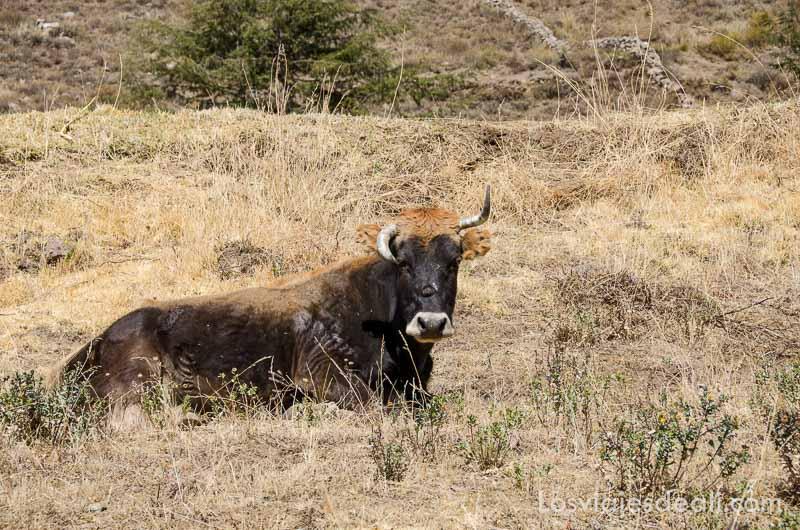 toro tumbado en el campo tiene un cuerno hacia abajo y otro hacia arriba