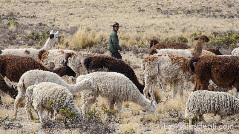 pastor con su rebaño de llamas y alpacas