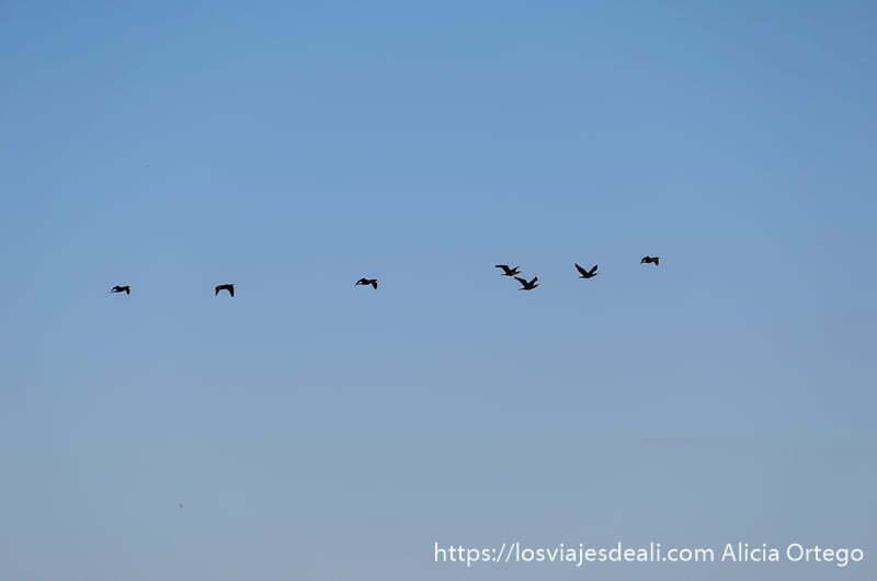 siete patos volando en línea en el cielo azul oscuro
