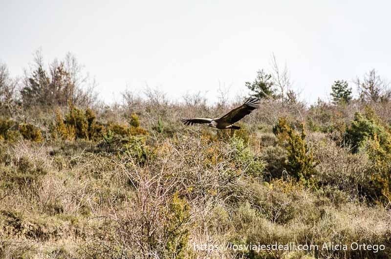 gran buitre volando sobre matorrales en uno de los rincones de la jacetania