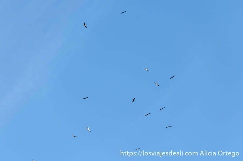 grupo de 10 buitres o más volando en el cielo azul