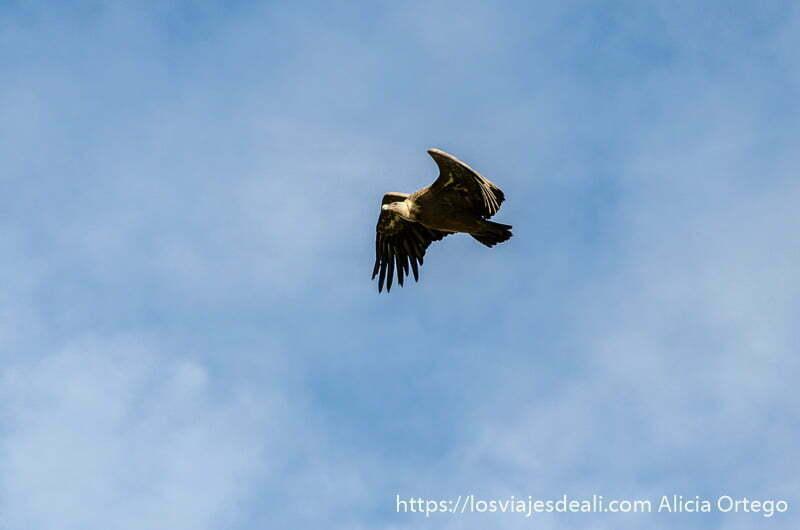 gran buitre volando en cielo azul con nubes blancas