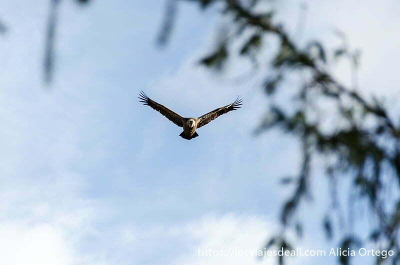 buitre volando hacia la cámara con alas extendidas en V y rama de árbol en primer plano