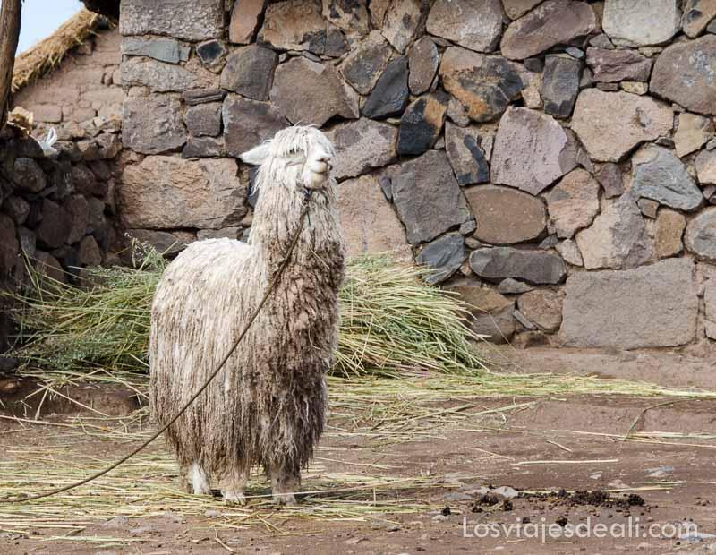 llama de lana blanca atada con cuerda en patio de casa de piedra