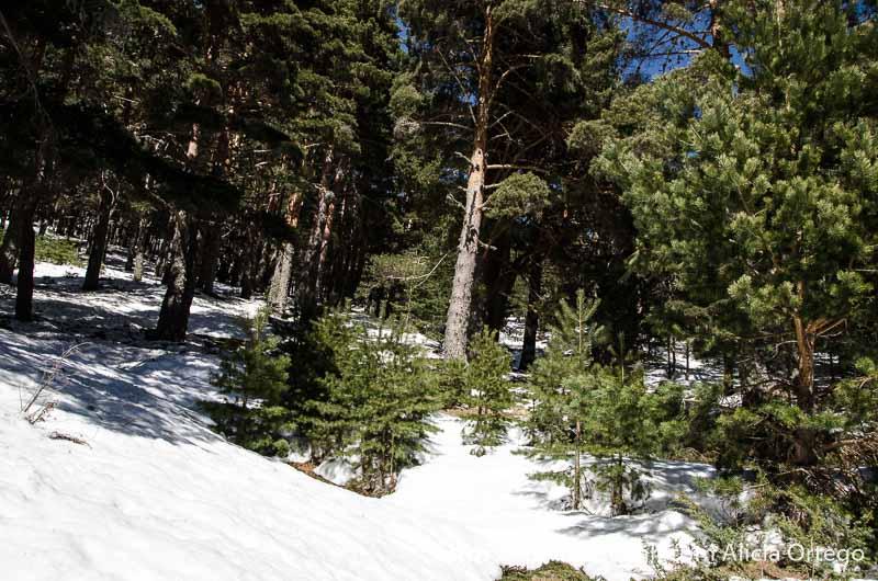pinos de navacerrada y nieve en el suelo
