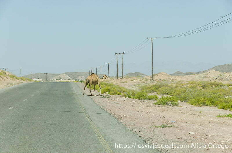 camello cruzando una carretera de omán