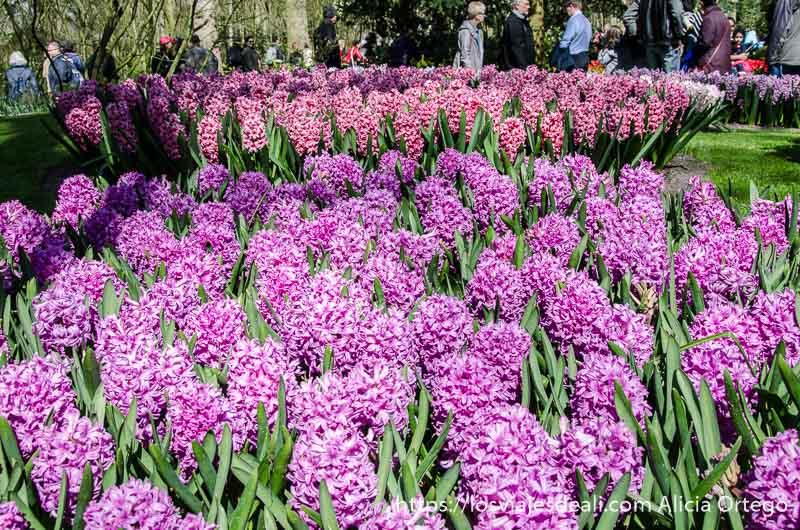 macizos de flores rosas y malvas y mucha gente paseando junto a ellas