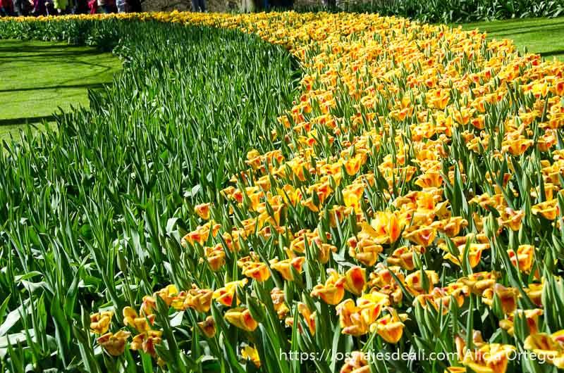 tulipanes amarillos dispuestos en curva en ladera del parque de keukenhof