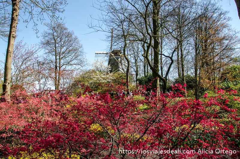 arbustos con florecillas rojas y molino holandés al fondo