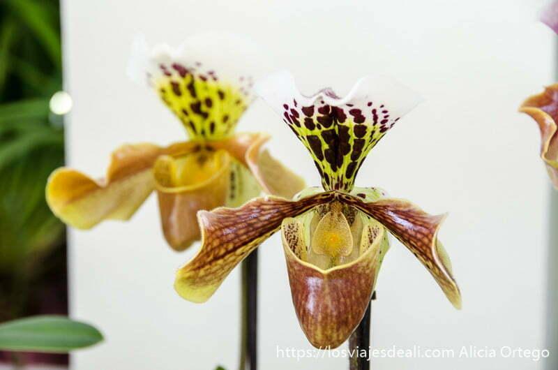 dos orquídeas de forma rara y colores amarillos