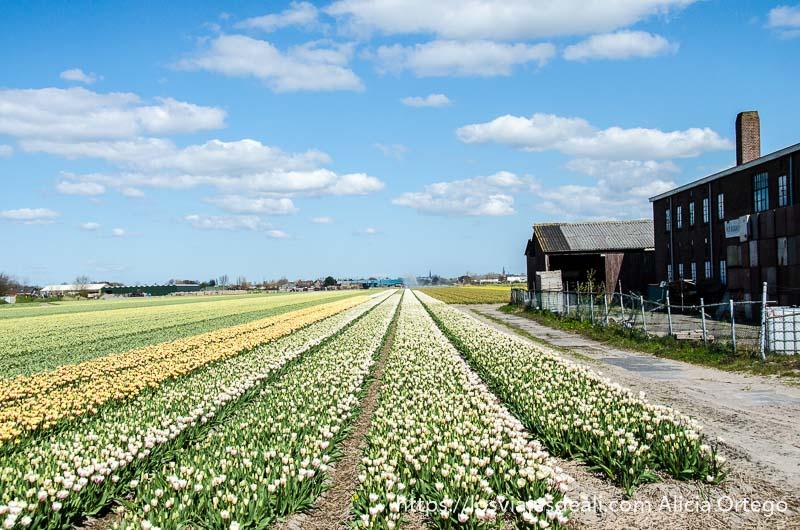 campo de cultivo de flores blancas y amarillas formando largas líneas