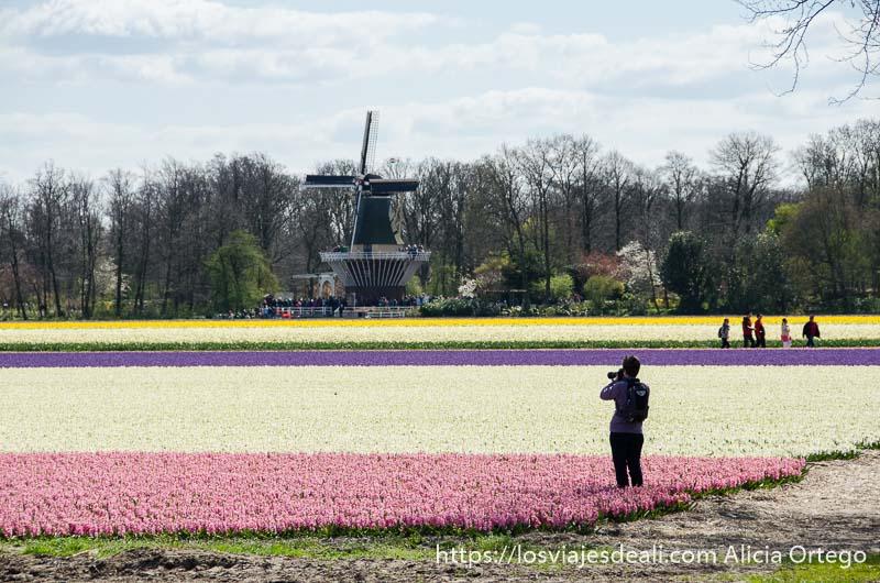 campos de flores con molino holandés al fondo y una mujer haciendo fotos en un extremo