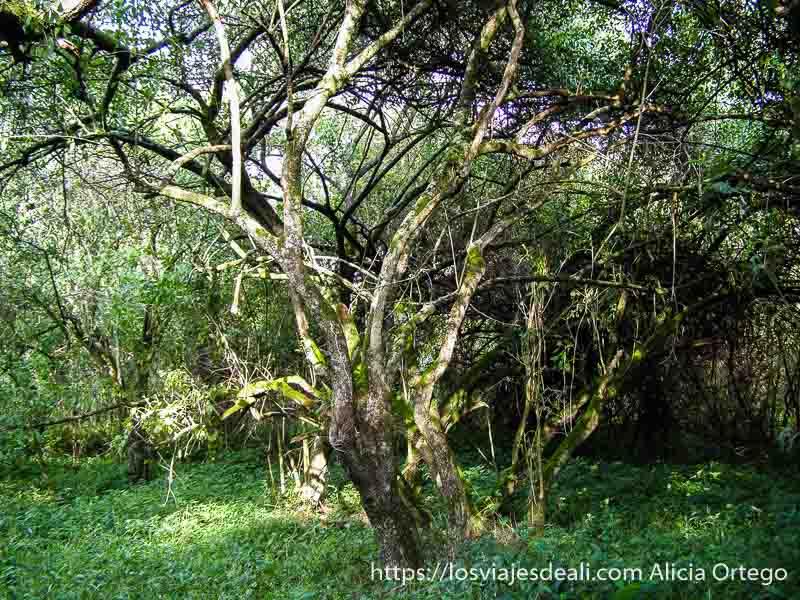 árbol con muchas ramas y lianas entre vegetación verde