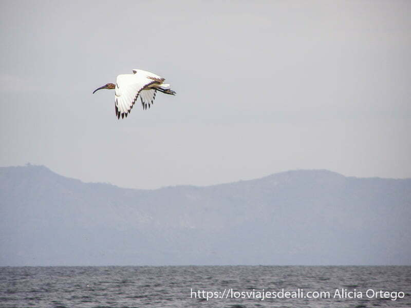 gran ibis blanco volando sobre un lago con montaña al fondo