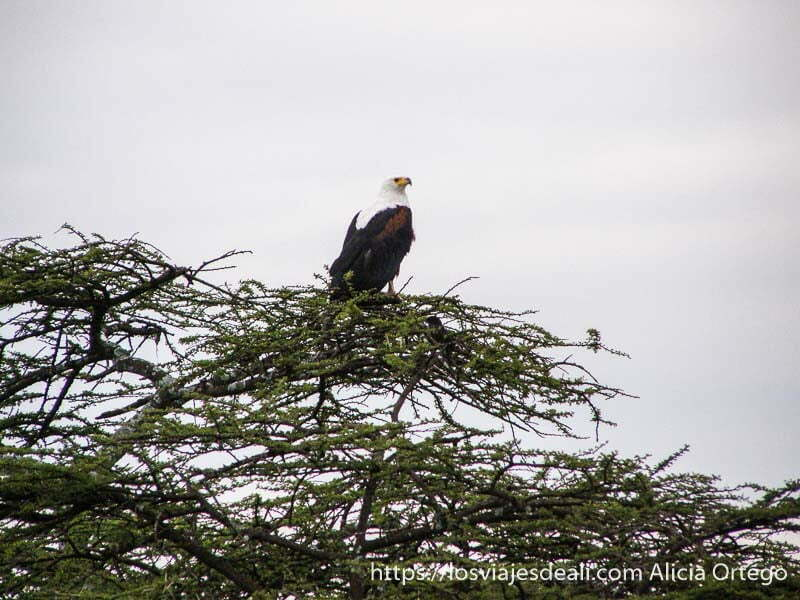 águila pescadora africana de cabeza blanca pico amarillo y cuerpo negro sobre las ramas de una acacia