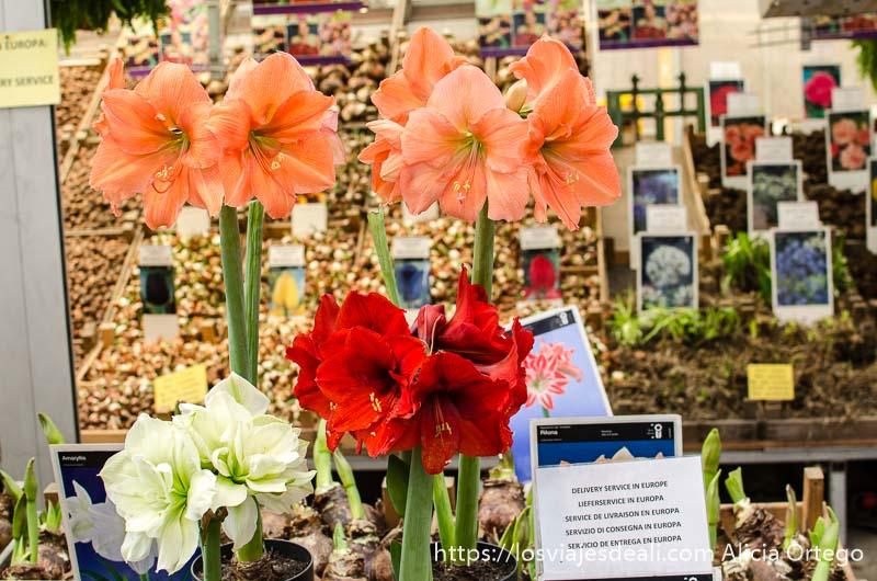 8 flores grandes de color blanco, rojo y rosa en amsterdam