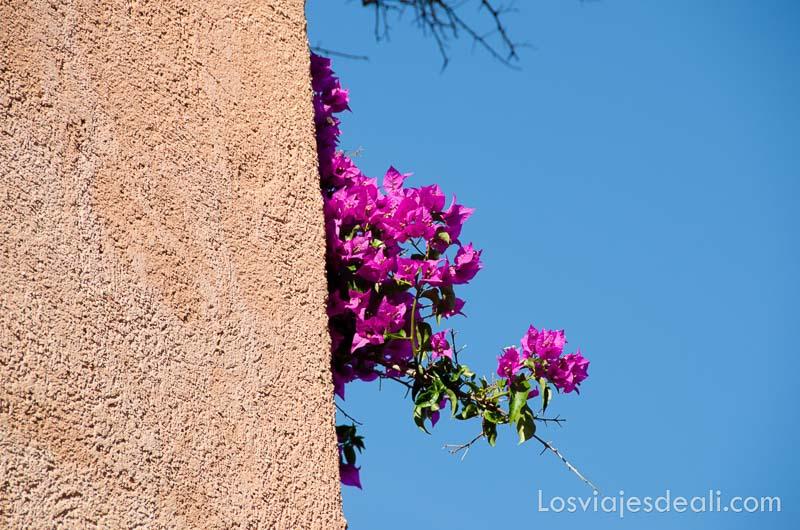 flores de azalea de color rosa en un muro de collioure con cielo muy azul