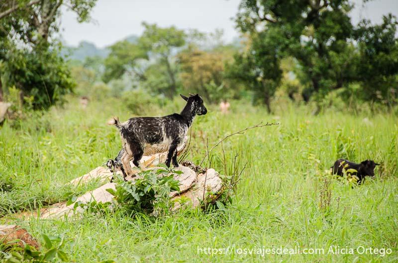 cabras enanas en paisaje muy verde país somba tribus de benin