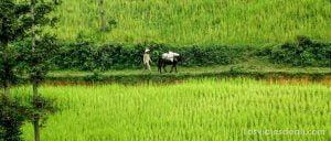 arrozales de vietnam