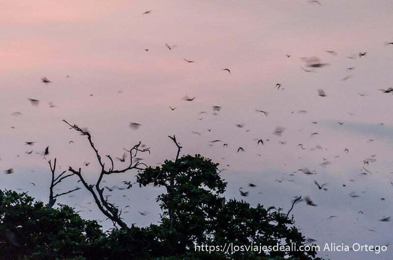 murciélagos volando sobre copas de árboles con nubes rosas de atardecer en la capital de togo