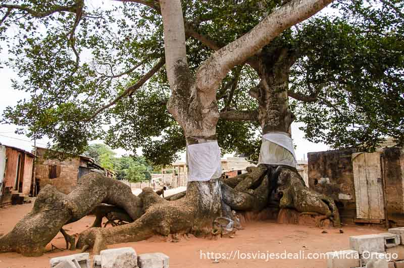 dos árboles enormes con sábanas blancas rodeando sus troncos en una plaza de togoville