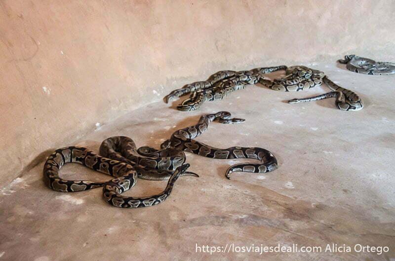 serpientes pitón reptando por el suelo del templo en ouidah benin