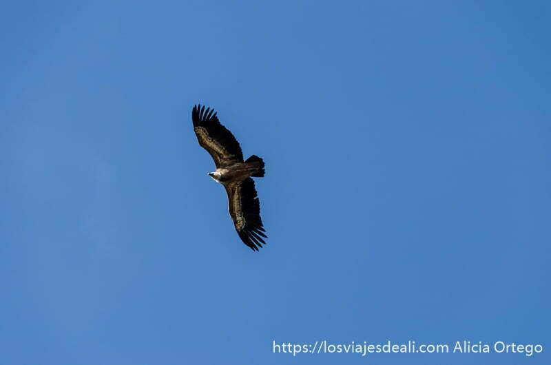 buitre volando con las alas desplegadas en cielo muy azul en las hoces del duratón