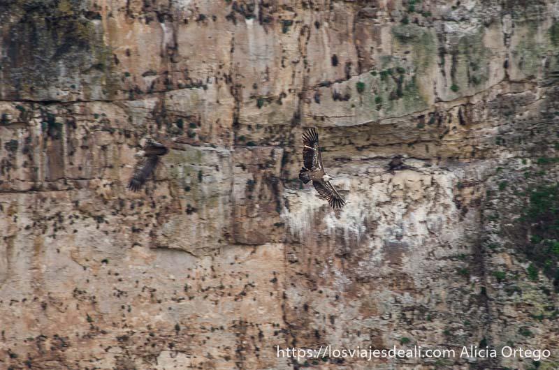 dos buitres volando con pared de roca al fondo en hoces del duratón