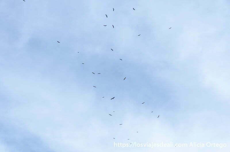 columna de buitres volando en el cielo con algunas nubes blancas en hoces del duratón
