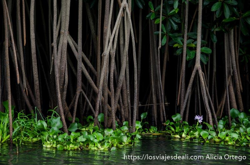 raíces de manglar y plantas acuáticas verdes en el agua playas de benin