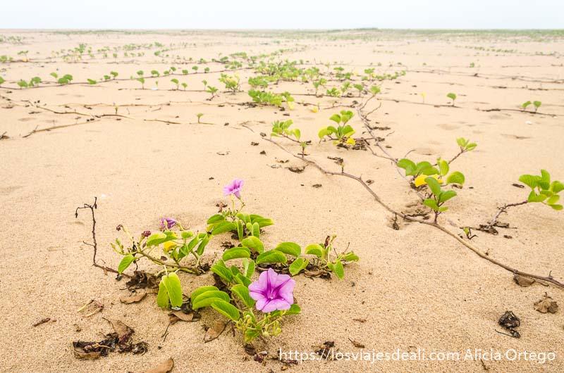 planta enredadera con flores rosas que crece en banco de arena de las playas de benin