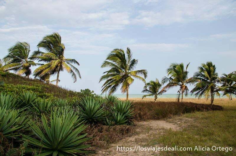 fila de palmeras azotadas por el viento y al fondo el mar de las playas de benin
