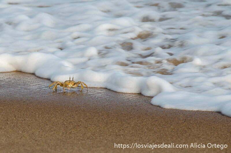 cangrejo sobre arena mojada junto a espuma del mar en playas de benin