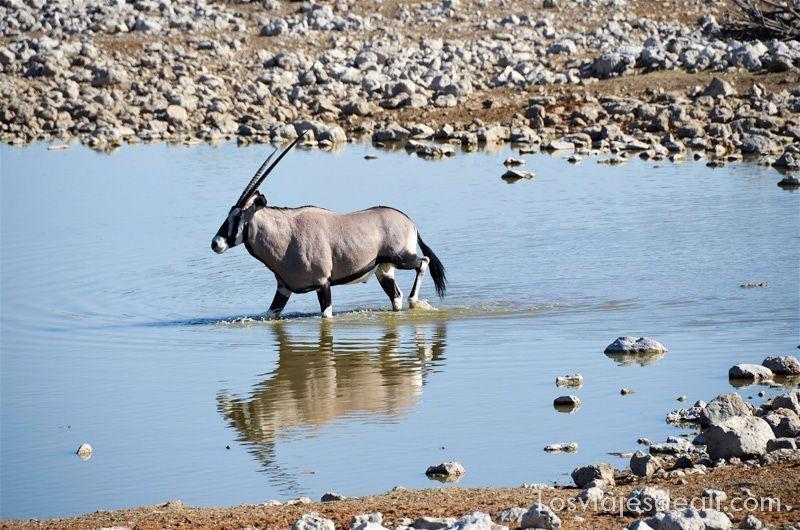 órix entrando en el agua de un pequeño lago y reflejándose en ella en el parque nacional de etosha