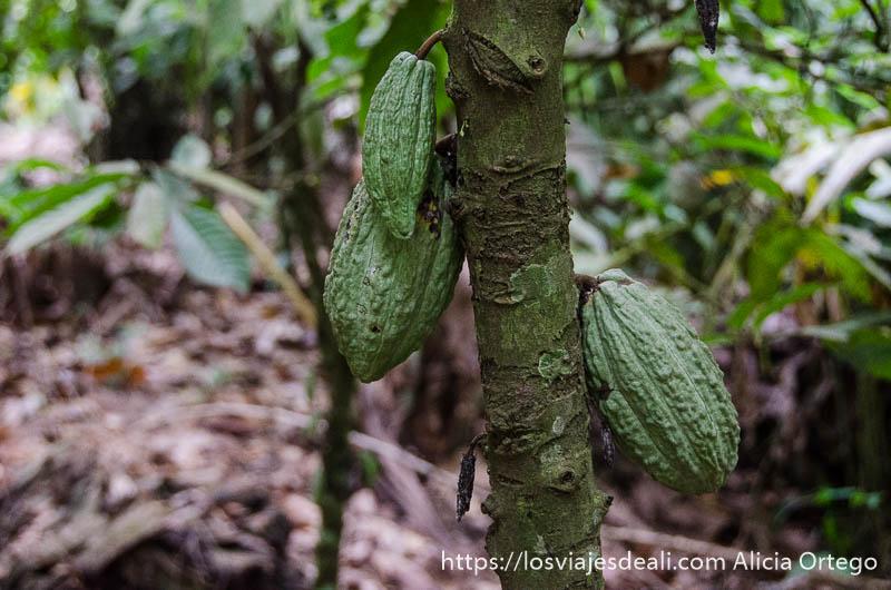 vainas de cacao en el árbol aún verdes ruta por el interior de togo
